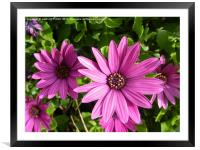 osteospermum, Framed Mounted Print