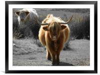highland cow faceoff, Framed Mounted Print