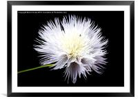 White Wildflower, Framed Mounted Print