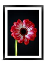 vibrant red gerbera, Framed Mounted Print