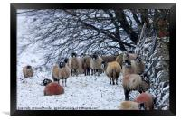 Sheep in Winter, Upper Teesdale, County Durham, UK, Framed Print