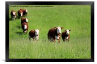 Cattle Running Towards Camera, Framed Print