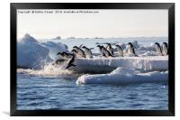 Diving penguins., Framed Print