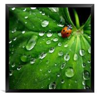 ladybird on a rainy day, Framed Print