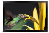 hummingbird feeding, Framed Print