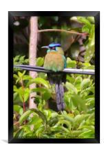 Blue-crowned Motmot, Framed Print