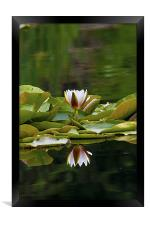 Water Lily reflection, Framed Print
