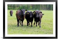 Black Cows Running Towards Camera, Framed Mounted Print