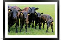 We are Curious - Cattle Looking into Camera, Framed Mounted Print
