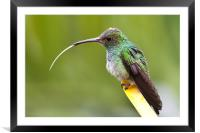 Hummingbird with tongue sticking out, Framed Mounted Print