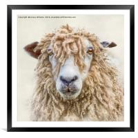 Leicester Longwool Sheep, Framed Mounted Print