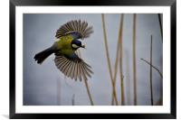 Great Tit with spider in its beak, Framed Mounted Print