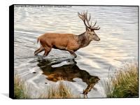 Red Deer Stag , Box Print