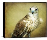 The Saker Falcon Stare