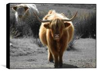 highland cow faceoff, Box Print