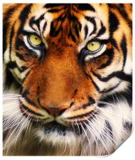 Tiger, Print