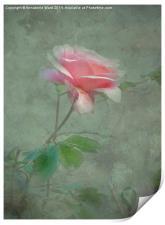 Rose Pink, Print