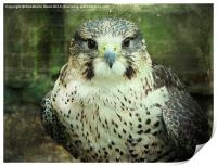 Peregrin Falcon, Print