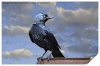 Majestic Jackdaw., Print