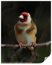 Goldfinch In The Shadows, Print