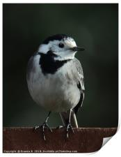 Pied Wagtail, Print