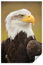 Bald Eagle, Print