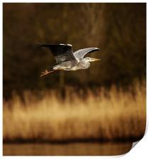 Heron in flight, Print