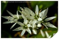 Wild Garlic flower, Print