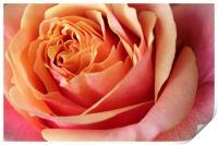 Rose flower, Print