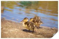 Cute Little Duckling, Print