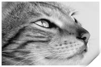 Bengal cat portrait, Print