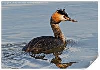 Great Crested Gebe, Print