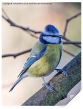 Blue Tit (Cyanistes caeruleus), Print