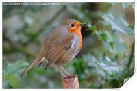 Yet another British Robin , Print
