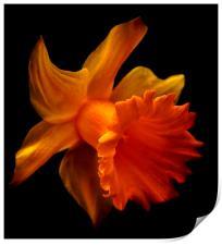 Daffodil 2, Print