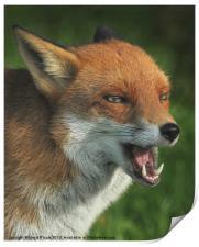 Laughing Fox, Print