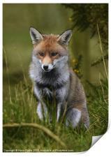 Young Fox, Print