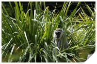 Monkey In The Grass, Print
