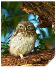 Little Owl at nest., Print