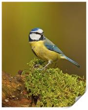 Blue Tit on mossy log., Print