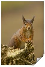 Red Squirrel on rustic log., Print