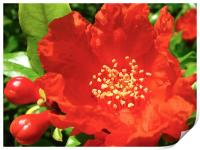 Red Pomegranate Flowers, Print