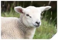 Lamb, Print