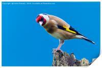 goldfinch, Print