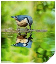 Nuthatch reflections, Print