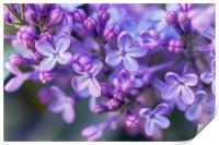 Lilac Dream , Print
