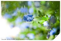 Blue Blossom of Ceanothus Concha in Spring, Print