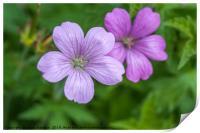 Purple Flowers of Wild Geranium Maculatum  Close U, Print