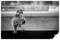 Scruffy Starling, Print