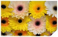 Colourful gerbera daisies , Print
